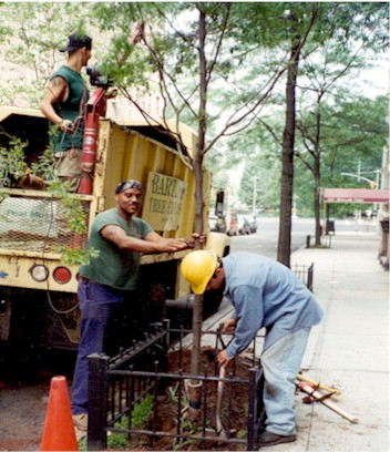 Bartlett Tree Service plants the honey locust tree in front of 315 West 104 in 1996